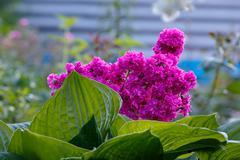 Viscaria vulgaris flowers in the garden outdoors. Stock Photos