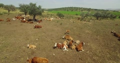 Aerial shot of herd of cows in the Pasture. Stock Footage