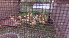 Yellow and gray ducks walk on the paddock. Stock Footage