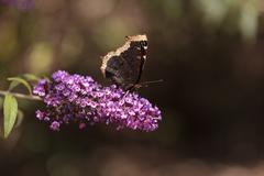 Mourning cloak butterfly, Nymphalis antiopa - stock photo