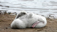 The young swan cleans feathers on the bank of the lake Stock Footage