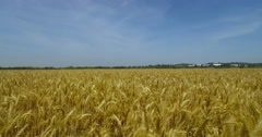 Brown wheat field. Stock Footage