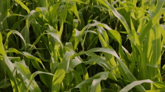 Corn plant field with farmer's hand, sunny day Stock Footage