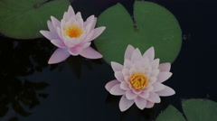 Two pink nymphaea flowers on the pond surface Stock Footage