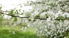 Apple tree flowers  on branch and tree in blossom Stock Footage