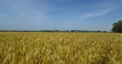 Israeli Agriculture-  brown wheat field. Stock Footage