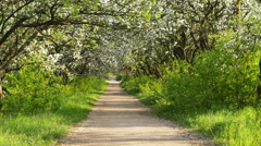 Footpath passage with ground way and apple tree blossom Stock Footage