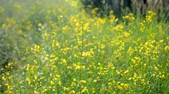 Rape flower close-up in a field in the wind Stock Footage