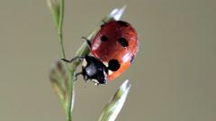 Ladybug Secretes Feces - stock footage