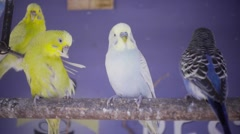Budgerigars stand over a branch Stock Footage