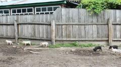 piglets run jolly on a farm - stock footage