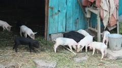 Piglets on a farm Stock Footage