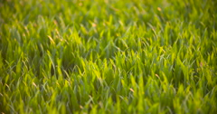 Cultivated field of young green wheat in the morning Stock Footage