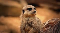 Meerkat Looks Around Rocky Area Stock Footage