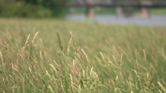Tall Grass Wheat Filed Blowing in Wind. Stock Footage