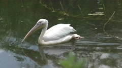 White pelican swimming Stock Footage