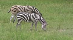 Zebras feeding on green grass Stock Footage