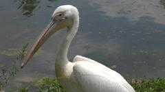 White pelican near water Stock Footage