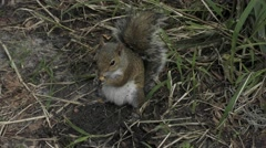 Squirrel on the ground eating seeds Stock Footage