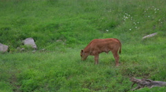 Baby Calf Cow Eating Grass. Stock Footage