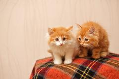 Two cute red kittens sits on plaid Stock Photos