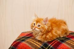 Cute little ginger kitten sitting on plaid - stock photo