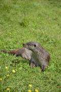 Otters on riverbank in lush green grass of Summer in sunlight - stock photo