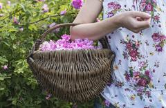 Woman picking color of oilseed roses - stock photo