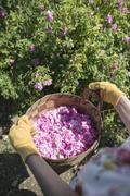 Woman picking color of oilseed roses Stock Photos