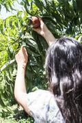 Woman harvest peaches in basket. Kuvituskuvat