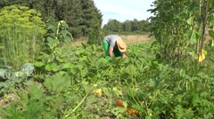 man harvesting zucchini with knife and carry vegetables in his garden. 4K - stock footage