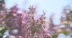 Syringa. Spring purple flowers. Lilac bokeh Stock Footage