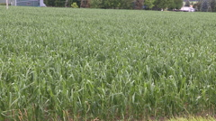 Corn crop damaged and destroyed by hail storm on farm Stock Footage