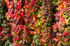 Autumnal Leaves Hedge Image with bright luminous autumn colors Stock Photos
