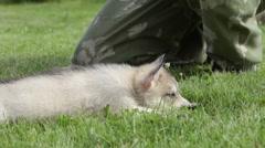 Husky puppy lies near a male on a grass Stock Footage