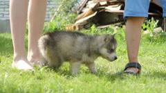 Husky puppy walks near a people legs Stock Footage