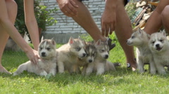 People holds a husky puppies and then they run away on a grass Stock Footage