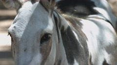 Donkey Stares Into Camera Stock Footage