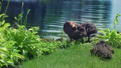 Ducks in green grass at lake bank. Wild duck sitting in green grass Stock Footage