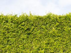 edge green arborvitae bush - stock photo