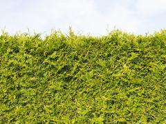 Edge green arborvitae bush Stock Photos