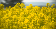 Yellow oilseed rape field Stock Footage