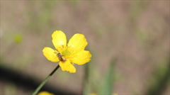 Vivid yellow buttercup cowslip Stock Footage