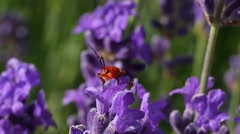 Insect gathering pollen of a lavender flower Stock Footage