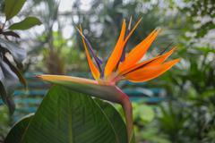 Flower Strelitzia reginae - stock photo