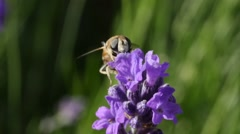 Bumblebee gathering pollen of a lavender flower Stock Footage