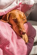 Hungarian Vizsla wrapped in duvet facing camera Stock Photos