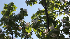 Quince leaves in light breeze Stock Footage