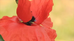 Red poppy black core - stock footage