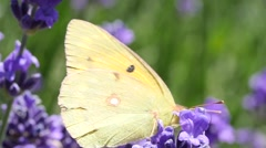 butterfly feasting on violet lavender - stock footage